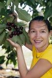 Cerezas de la cosecha Fotos de archivo