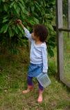 Cerezas de la cosecha Imágenes de archivo libres de regalías