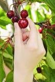 Cerezas de la cosecha de la mano Imagen de archivo