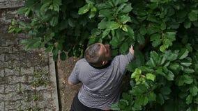 Cerezas de la cosecha del hombre del árbol almacen de video