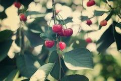 Cerezas de las bayas en una rama Imagen de archivo libre de regalías