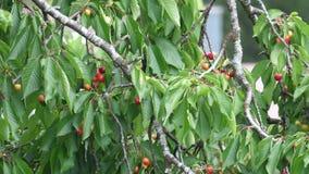 Cerezas de maduración en el viento en primavera almacen de video