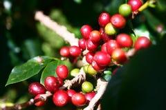 Cerezas del café Imágenes de archivo libres de regalías