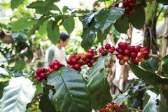 Cerezas del café del Arabica Fotos de archivo libres de regalías