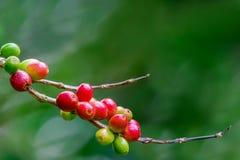 Cerezas del café en rama Fotografía de archivo