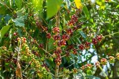 Cerezas del café en una plantación Fotografía de archivo