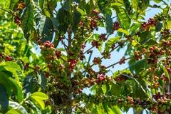 Cerezas del café en una plantación Imágenes de archivo libres de regalías