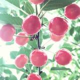 Cerezas del verano imagen de archivo