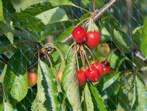 Cerezas detrás de la red del pájaro Foto de archivo libre de regalías