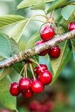 Cerezas dulces (avium del prunus) Imagen de archivo libre de regalías