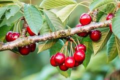 Cerezas dulces (avium del prunus) Fotografía de archivo libre de regalías