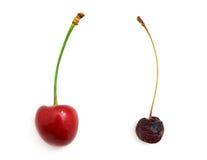 Cerezas dulces putrefactas y frescas Fotografía de archivo