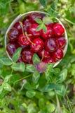 Cerezas dulces rojas maduras frescas en una cesta en la hierba verde rodeada por las flores Frutas de la cereza en un jardín en v imagenes de archivo