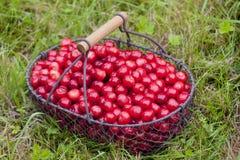 Cerezas en cesta Fotos de archivo libres de regalías