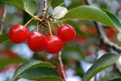Cerezas en el árbol Imagen de archivo libre de regalías