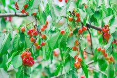 Cerezas en el jardín imágenes de archivo libres de regalías