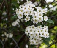 Cerezas en la floración Fotografía de archivo