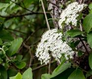 Cerezas en la floración Fotos de archivo