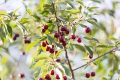 Cerezas en una rama de árbol Imágenes de archivo libres de regalías