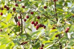 Cerezas en una rama de árbol Foto de archivo libre de regalías