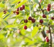Cerezas en una rama de árbol Fotos de archivo