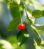 Cerezas en una rama de árbol Fotografía de archivo libre de regalías