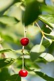 Cerezas en una rama de árbol Fotos de archivo libres de regalías