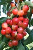 Cerezas en una rama en el sol del verano Foto de archivo libre de regalías
