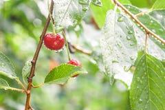 Cerezas en una rama en la lluvia Fotografía de archivo libre de regalías