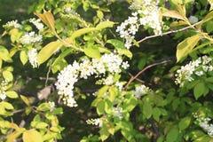Cerezas florecientes en el sol Foto de archivo libre de regalías