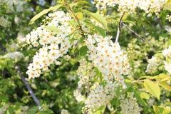 Cerezas florecientes en primavera Imagenes de archivo