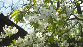 Cerezas florecientes en una tarde soleada de la primavera almacen de metraje de vídeo