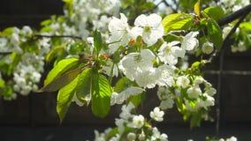 Cerezas florecientes en una tarde soleada de la primavera almacen de video