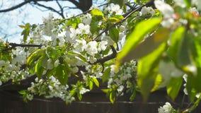 Cerezas florecientes en una tarde soleada de la primavera metrajes