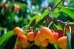 Cerezas más lluviosas en árbol Imágenes de archivo libres de regalías