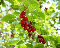 Cerezas maduras en la ramificación de árbol Imagenes de archivo