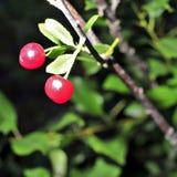 Cerezas maduras en una rama de árbol Imágenes de archivo libres de regalías