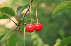 Cerezas maduras rojas Fotos de archivo libres de regalías