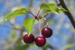 Cerezas maduras rojas Foto de archivo