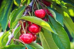 Cerezas maduras, rojas, dulces en una rama de un árbol en el jardín Imagenes de archivo
