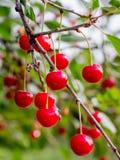 Cerezas maduras rojas en el árbol Crops_ cada vez mayor de la baya imagenes de archivo