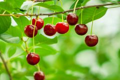 Cerezas que cuelgan en una rama Fruta madura por completo de vitaminas fotos de archivo