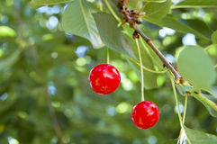 Cerezas rojas Fotografía de archivo