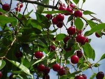 Cerezas rojas Imágenes de archivo libres de regalías
