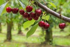 Cerezas rojas aisladas en árbol en huerta de cereza Fotografía de archivo libre de regalías