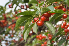 Cerezas rojas en cerezo Imagen de archivo