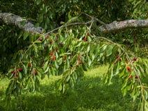 Cerezas rojas en cerezo fotos de archivo libres de regalías