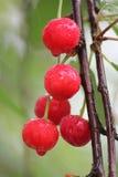 Cerezas rojas en el árbol Fotos de archivo libres de regalías