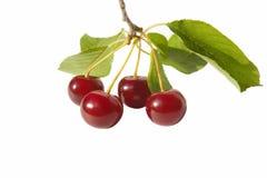 Cerezas rojas frescas con la hoja Imágenes de archivo libres de regalías