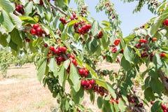 Cerezas rojas frescas el verano Imagenes de archivo